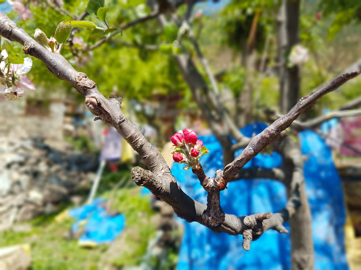 Apple Blossom Flower in Simikot